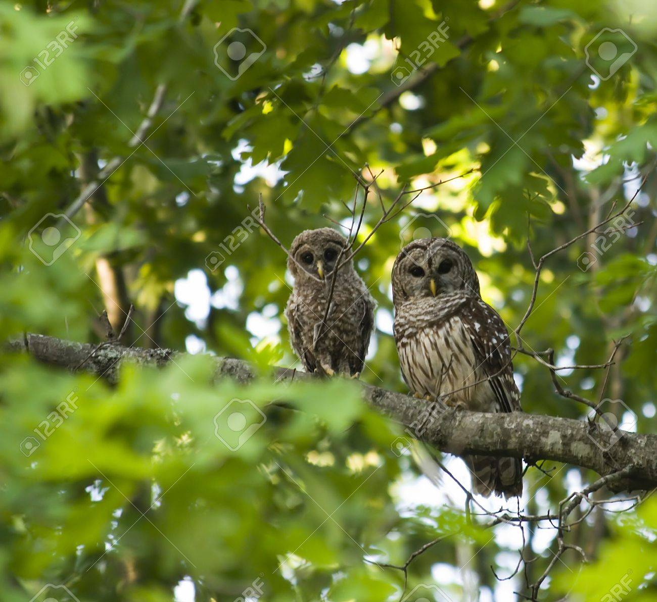 Mother and Baby Owl Stock Photo - 17441138