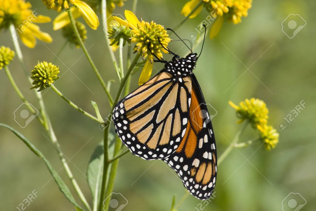 Monarch on Yellow Wildflowers Stock Photo - 17510402