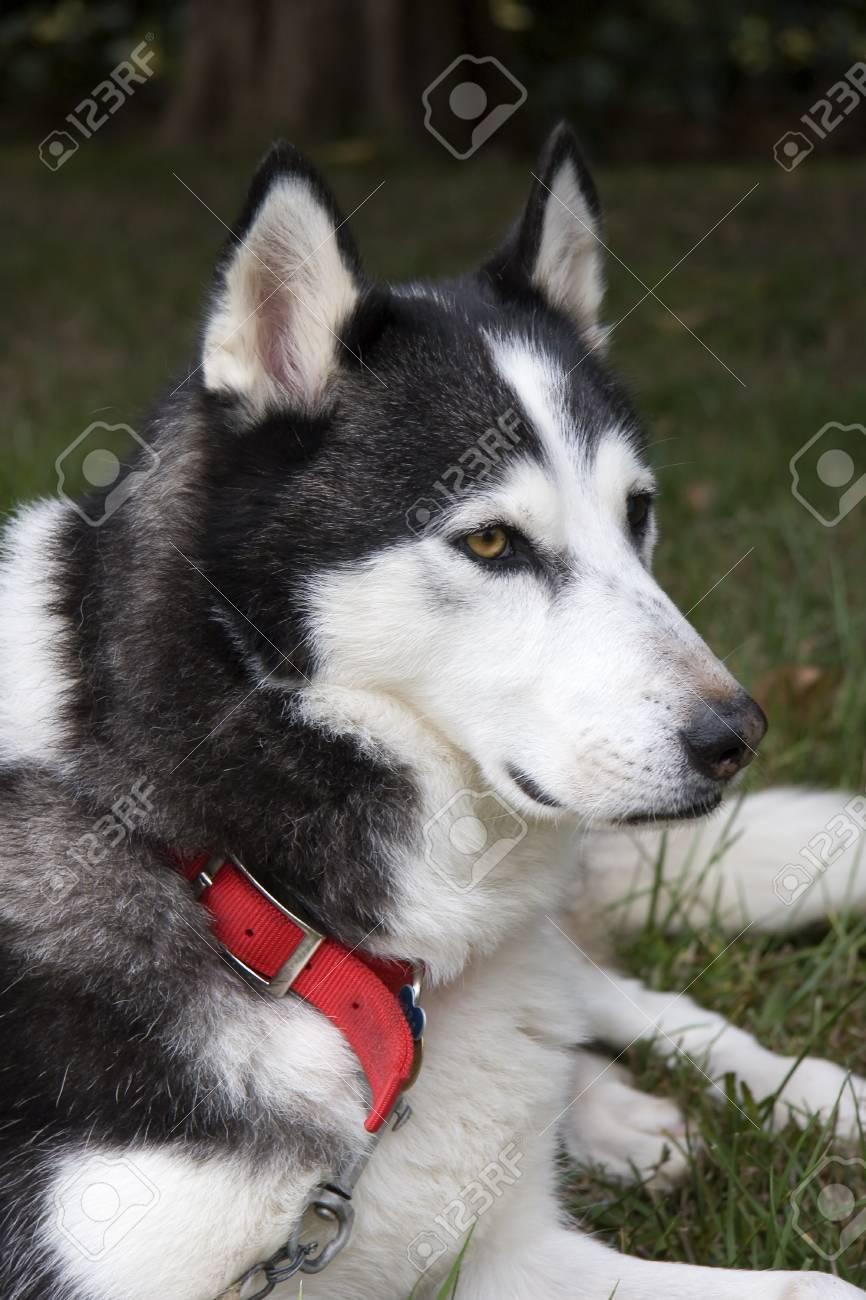 Husky Dog Stock Photo - 17510441