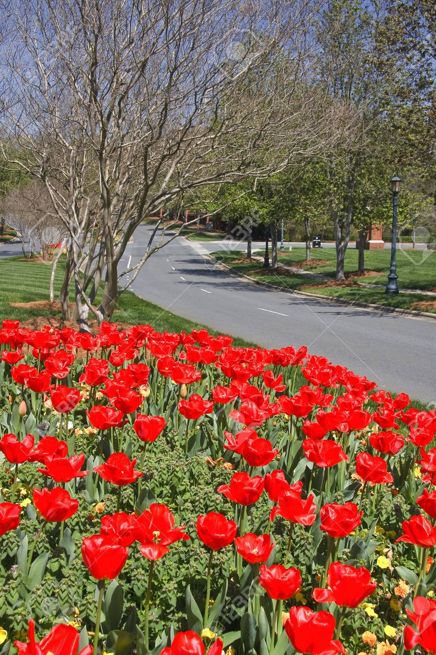 Tulips Blooming in a Median Stock Photo - 17545733