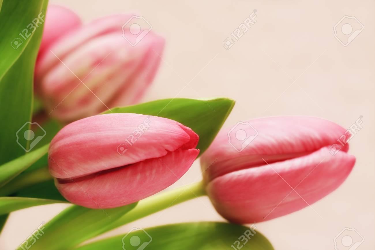 Pretty Pink Tulips Stock Photo - 18045140