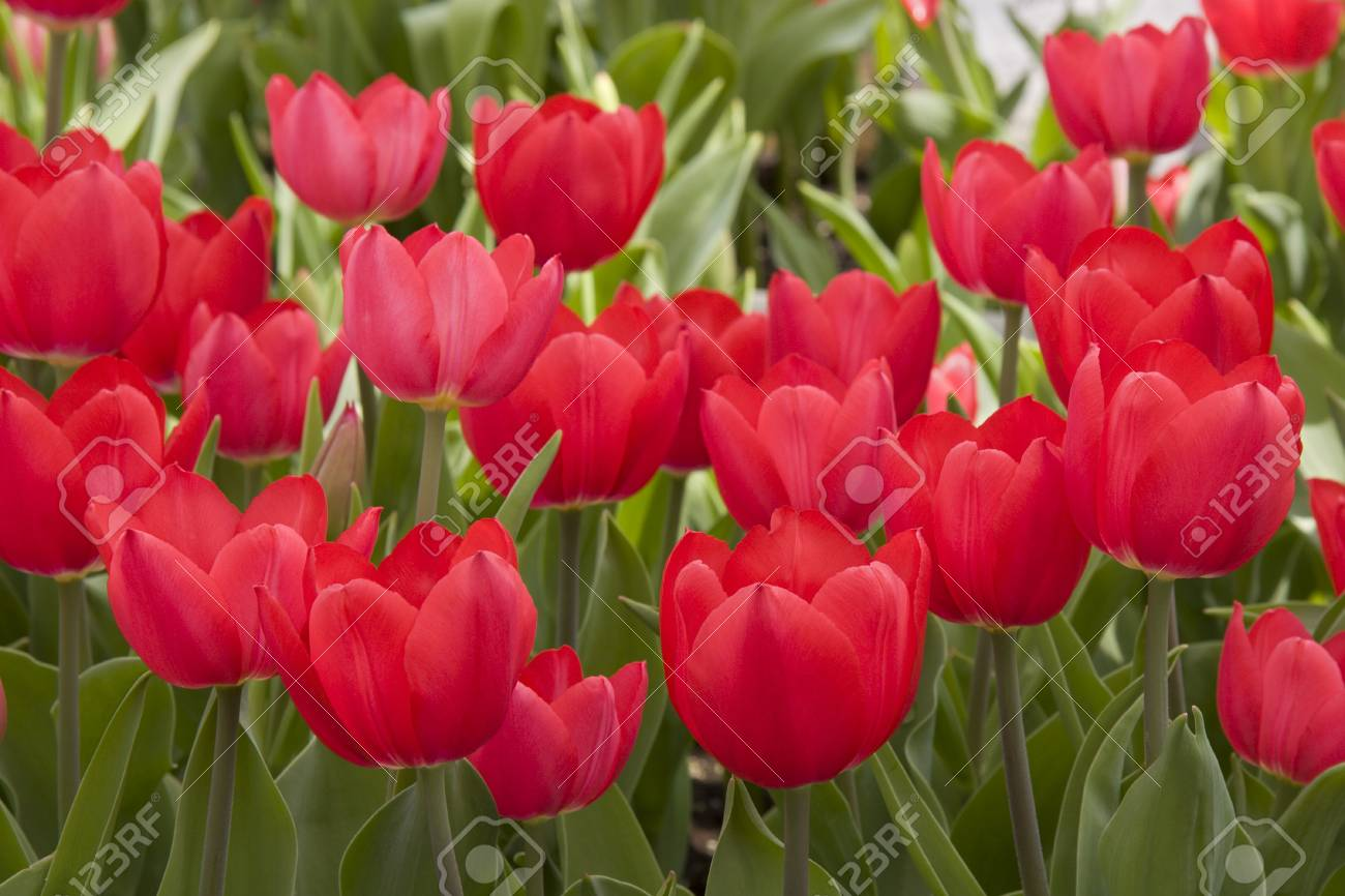 Red Tulips in a Garden Stock Photo - 18129069