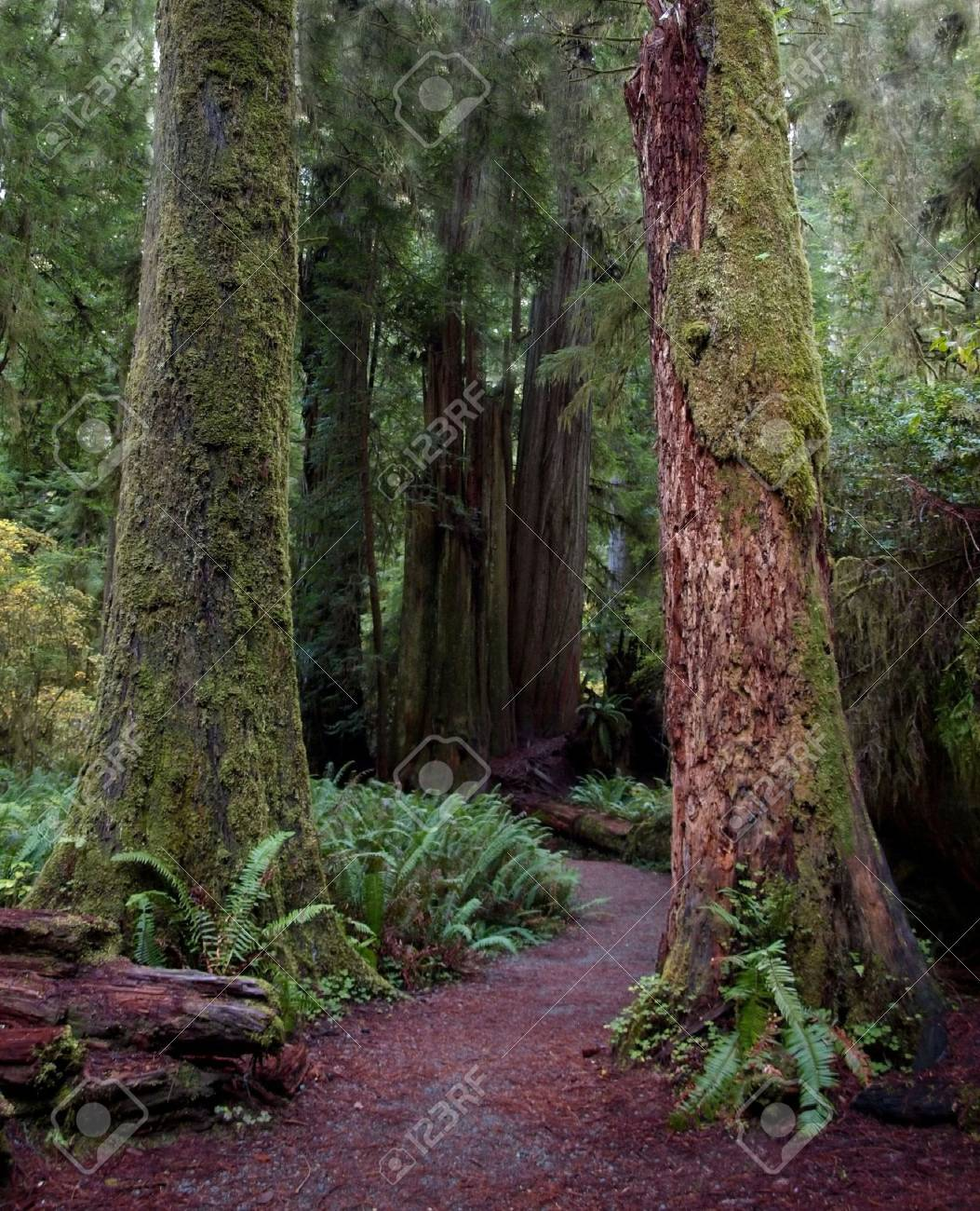 Path through a pair of colorful mossy redwood tree trunks Stock Photo - 4337197