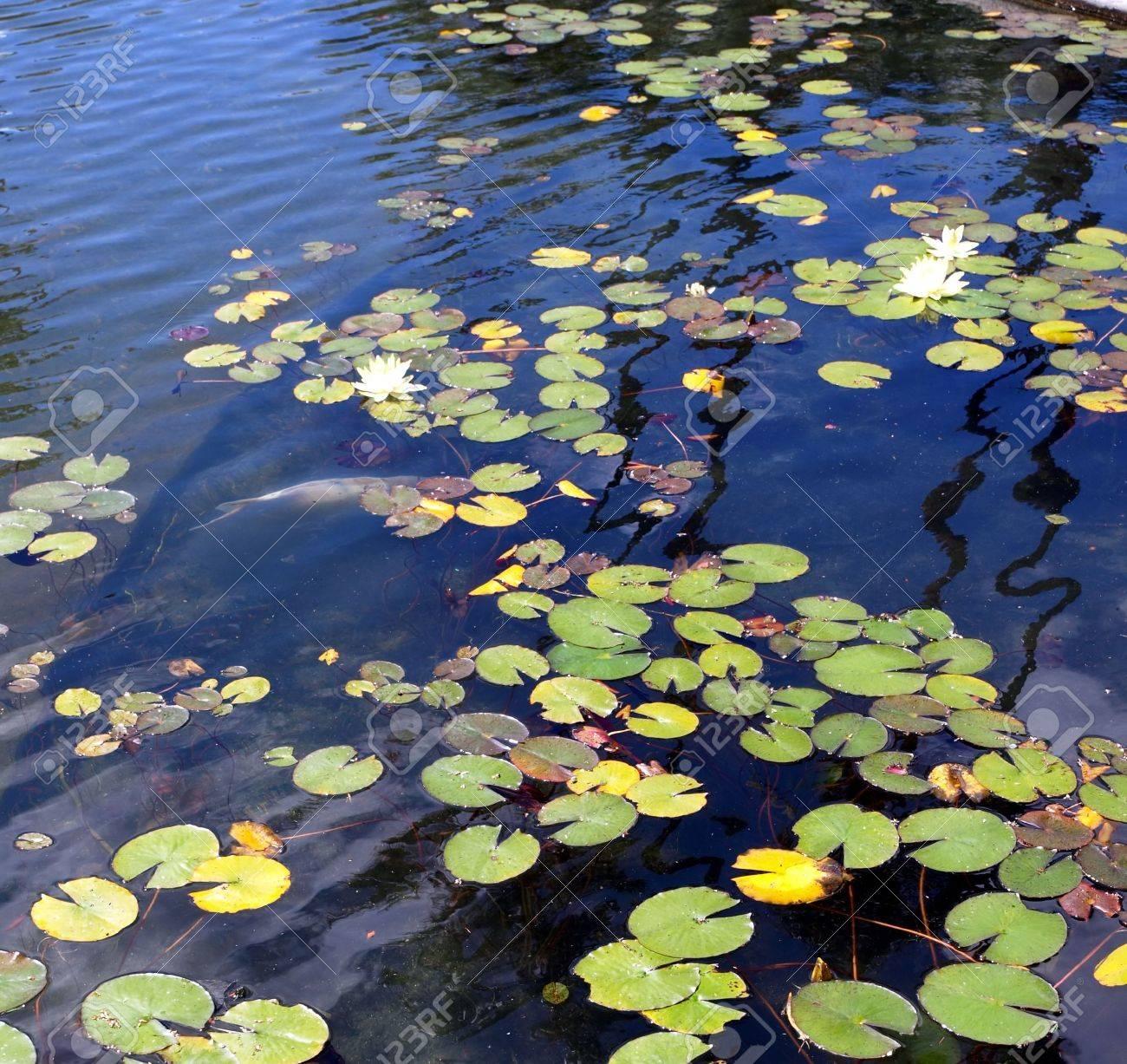 koi y el lirio de estanque con plantas acuticas y peces y la superficie ondulada foto