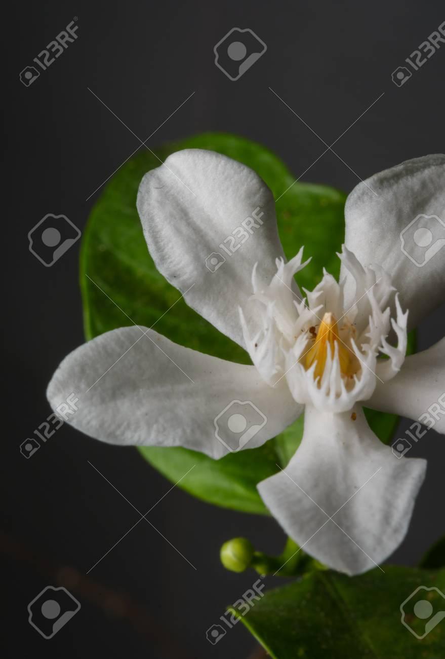 Close up white gerdenia cape jasmine flower at outdoor stock photo close up white gerdenia cape jasmine flower at outdoor stock photo 39643283 izmirmasajfo