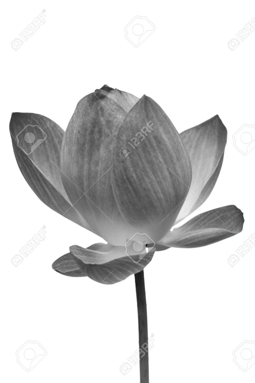 Black and white water lily flower lotus flower is a important black and white water lily flower lotus flower is a important symbol in asian culture izmirmasajfo Choice Image