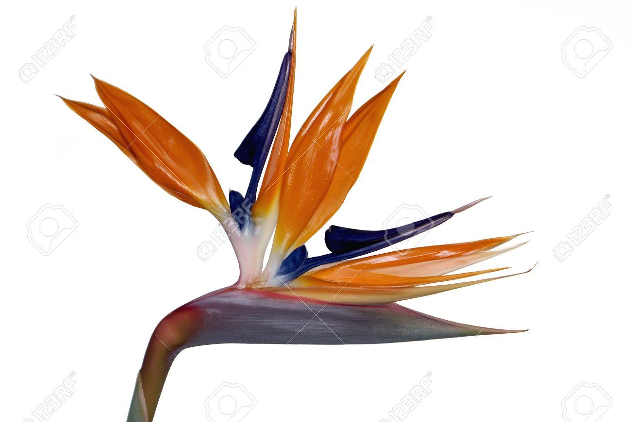 Bird Of Paradise Flower Strelitzia Reginae Op Wit Wordt Geïsoleerd