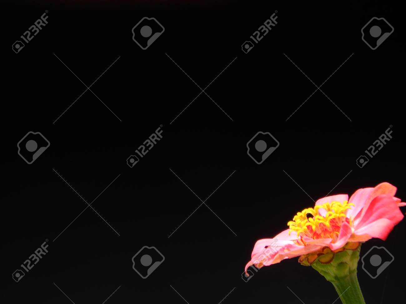 Pink Flower Isolated On Black Background Stock Photo Picture And