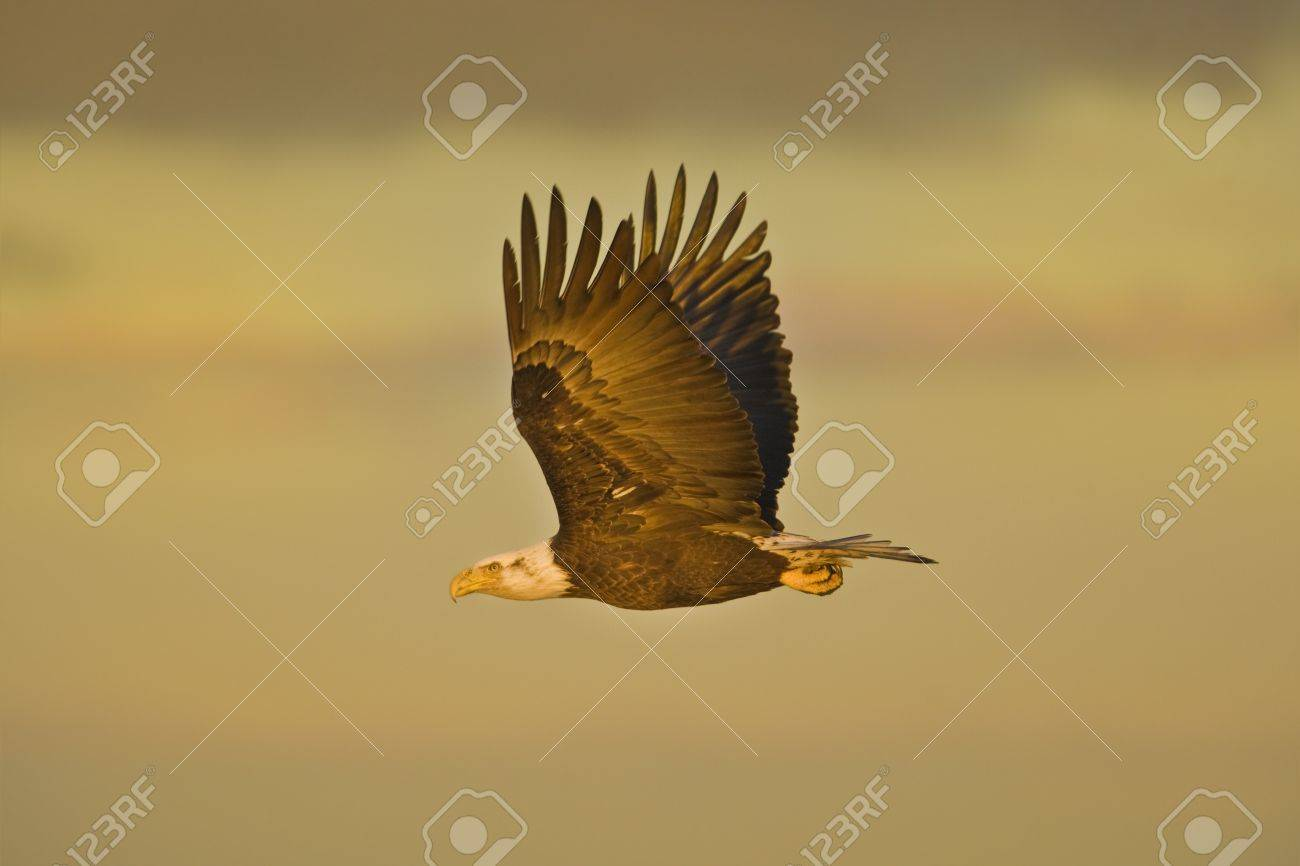 Bald Eagle in flight in early morning, highlighted with first sunrise rays. Latin name -Haliaeetus leococephalus Stock Photo - 9171301