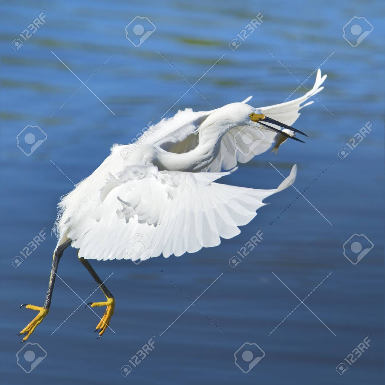 Flying Snowy Egret with catch.Latin name - Egreta tula. Stock Photo - 11714861