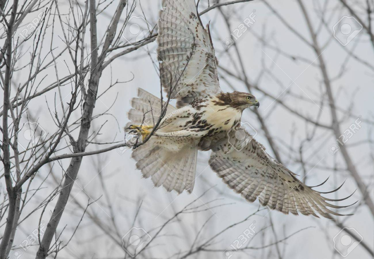 I am out of here  Red-tailed Hawk   Latin name-Buteo jamaicensis Stock Photo - 13904198