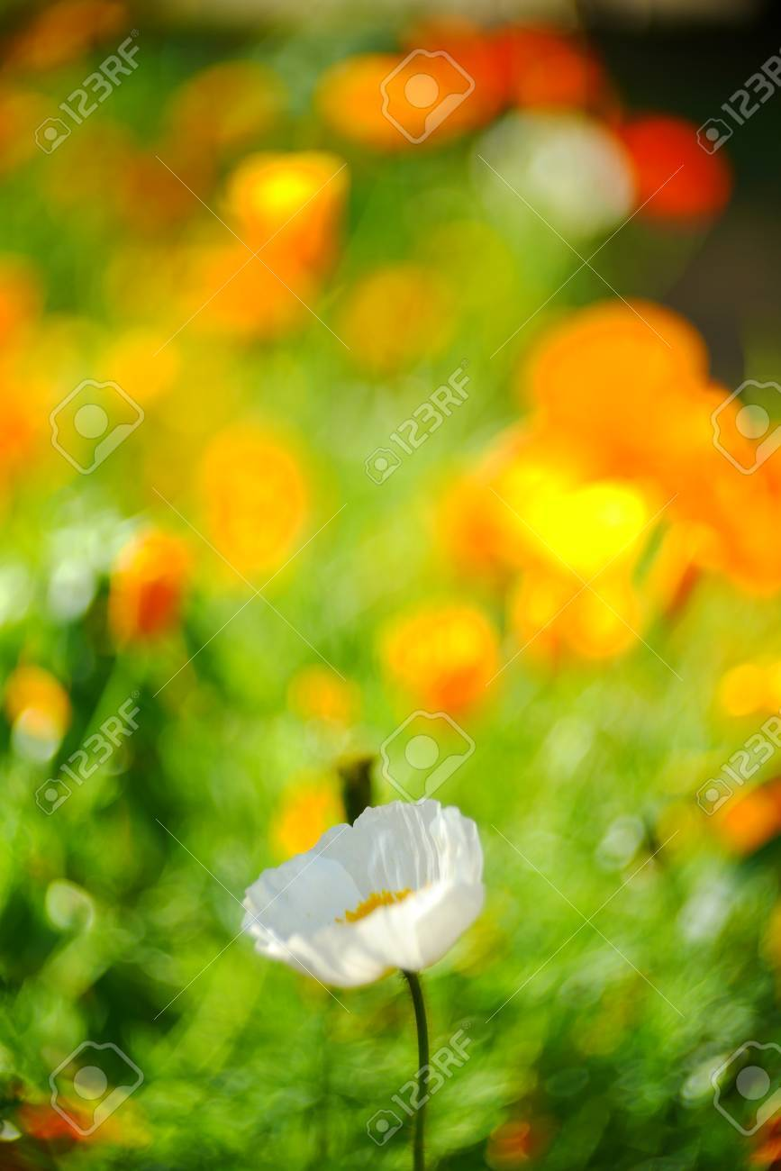 Garden Of Soft Sunshine White Poppy Flowers Stock Photo Picture And