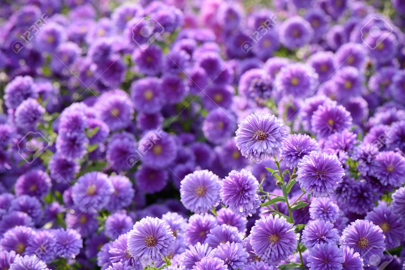 Closeup Of Small Purple Chrysanthemum Flowers In A Field Stock Photo