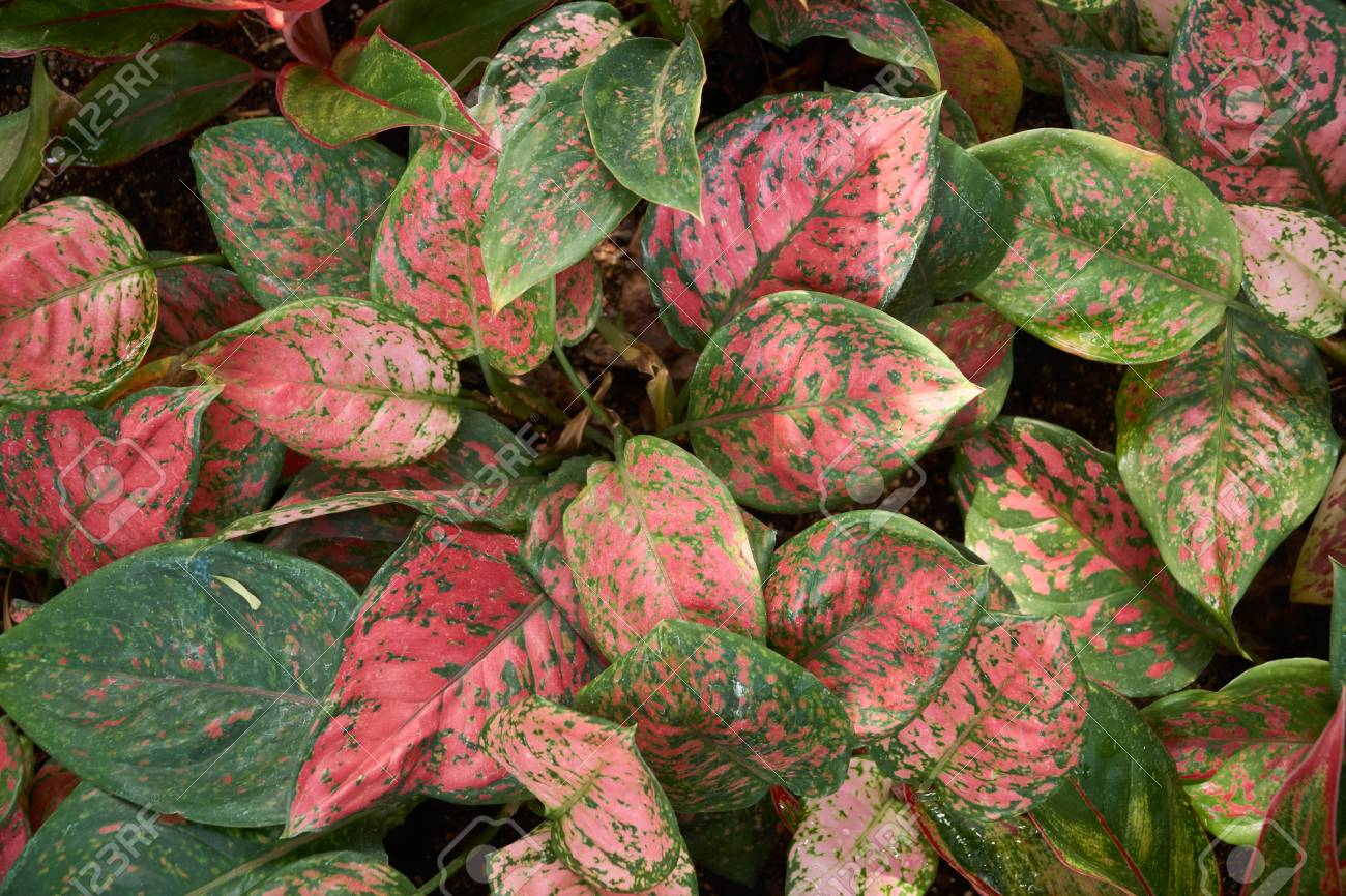 Aglaonema siam aurora, also known as red Aglaonema or Chinese.. on red camellia, red variegated plants, red aster, red pineapple, red narcissus, red anthurium, red zebra plant, red wandering jew, red house plants, red crotons, red gerbera, red tropical plants names, red flowering plants, red peace lily, red fittonia, red angelonia, red photinia, red anemone, red acacia, red allamanda,