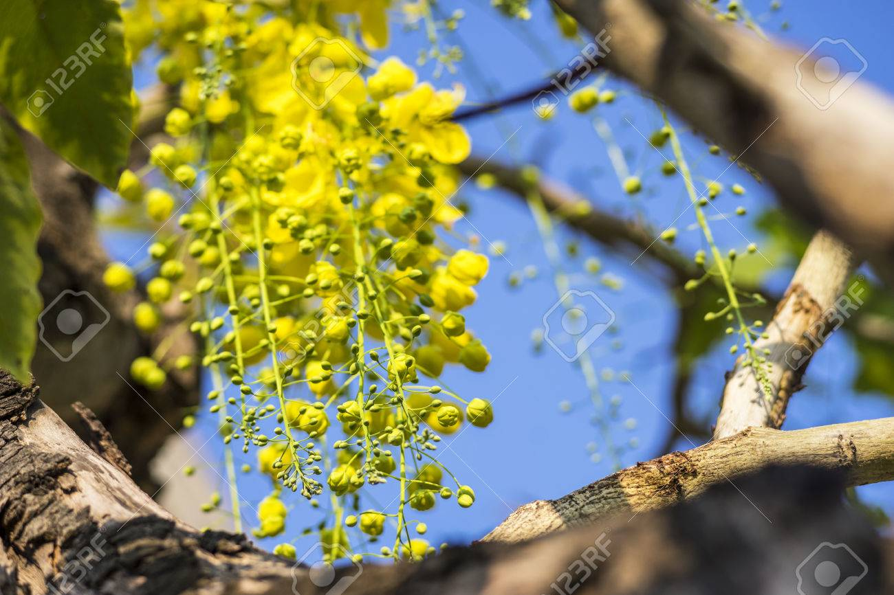 Golden Shower Flowers Or Cassia Fistula In Science Name Are Bloomed