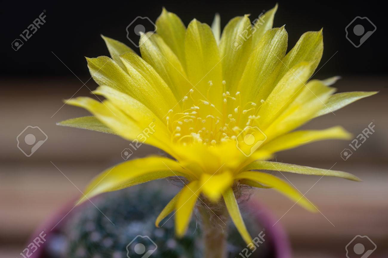 Yellow Flower Blooming In The Morning Of Lobivia Arachnacantha