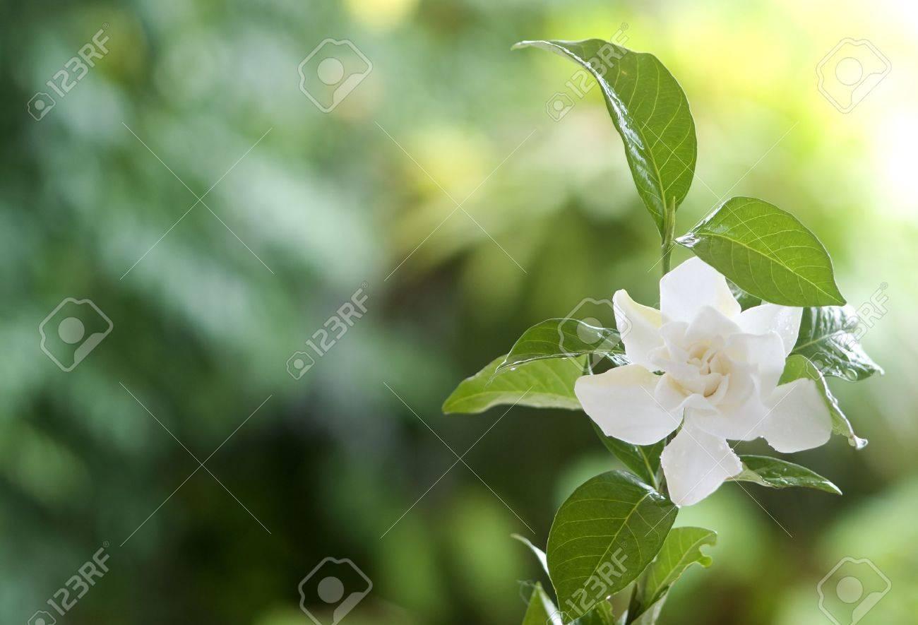 Beautiful white common gardenia or cape jasmine flower in garden beautiful white common gardenia or cape jasmine flower in garden reklamn fotografie 15277235 izmirmasajfo
