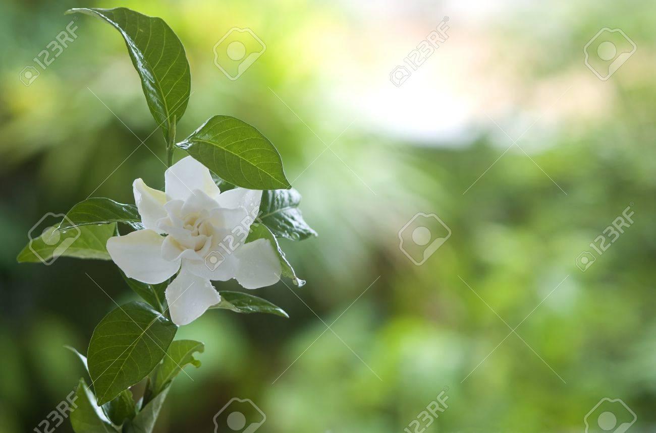 Beautiful White Common Gardenia Or cape Jasmine Flower In Garden
