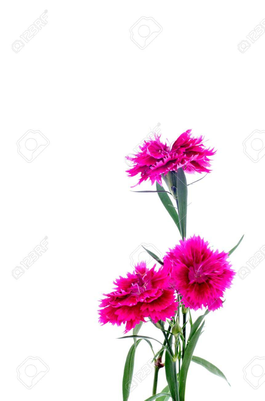Dianthus Or Sweet William Flower On White Background Stock Photo