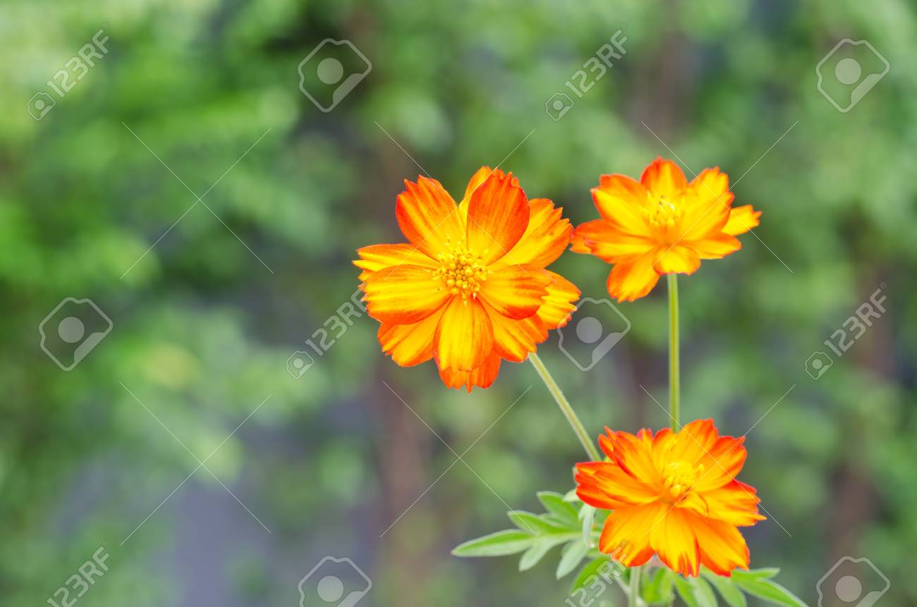 Cosmos sulphureus or yellow cosmos flowers blooming in garden stock cosmos sulphureus or yellow cosmos flowers blooming in garden stock photo 22141192 mightylinksfo