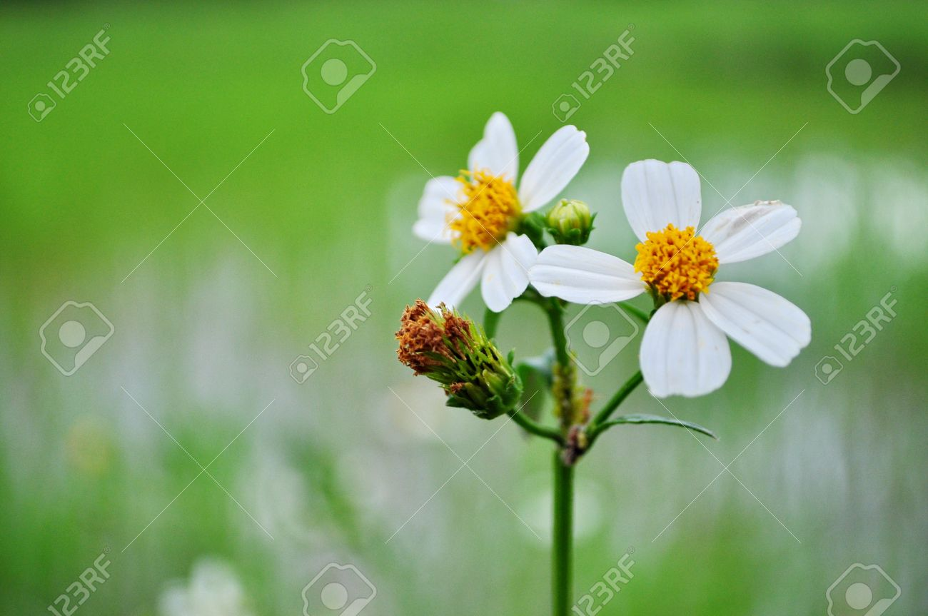 Good Morning In The Garden With White Flower Stock Photo Picture