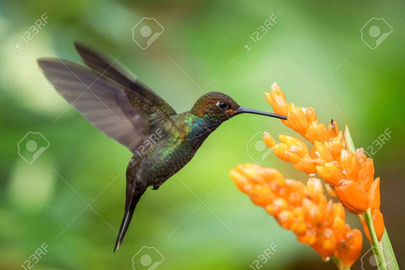Hummingbird hovering next to orange flower,garden,tropical forest,Brazil, bird in flight with outstretched wings,flying hummingbird sucking nectar from blossom,exotic travel adventure,clear background - 118016900