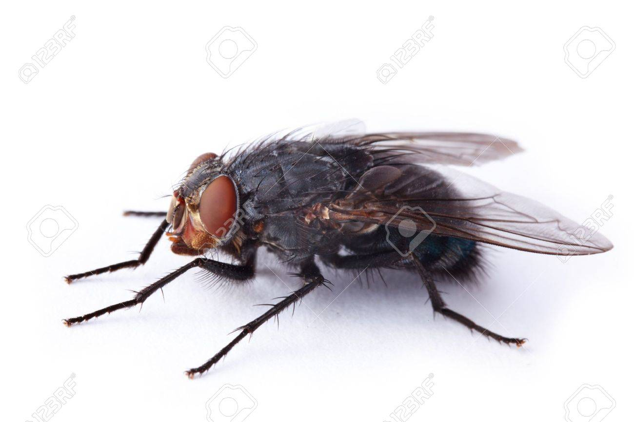 Macro Shot Of The Housefly Stock Photo, Picture And Royalty Free ...