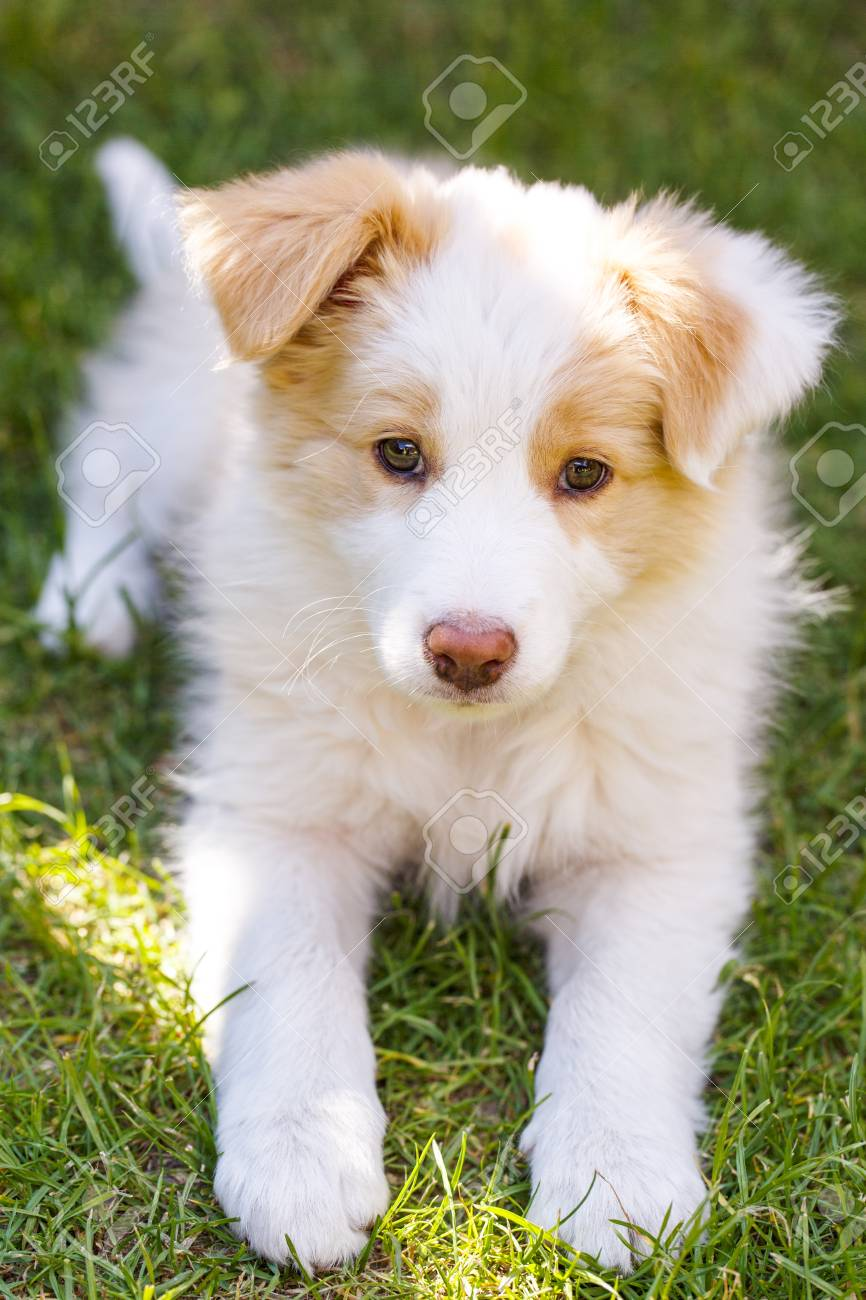 Ee Red Border Collie Puppy Young Dog Outside On The Lawn Stock Photo Picture And Royalty Free Image Image 57289527