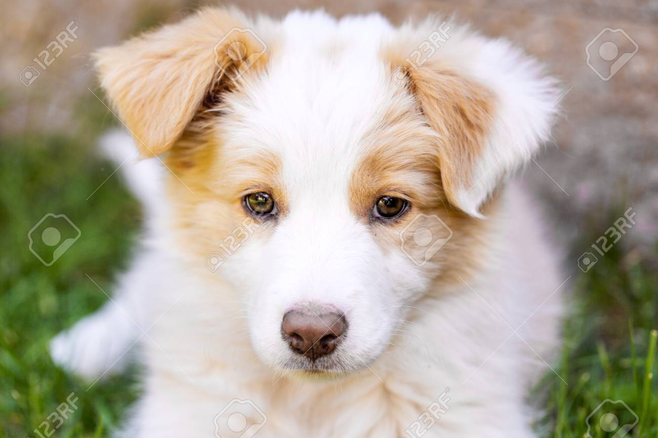 Ee Red Border Collie Puppy Young Dog Outside On The Lawn Stock Photo Picture And Royalty Free Image Image 57289534