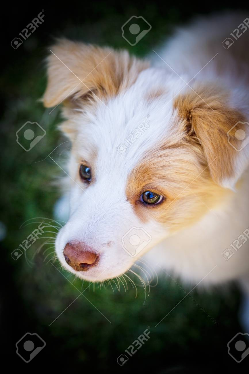 Ee Red Border Collie Puppy Young Dog Outside On The Lawn Stock