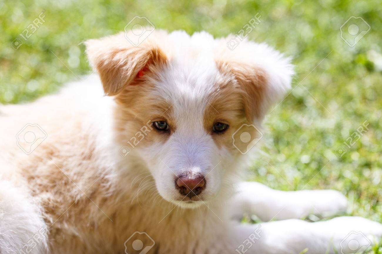 Ee Red Border Collie Puppy Young Dog Outside On The Lawn Stock Photo Picture And Royalty Free Image Image 57289538