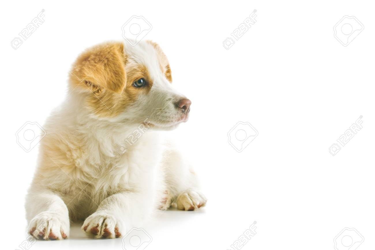 Ee Red Border Collie Puppy Young Dog Isolated On White Background
