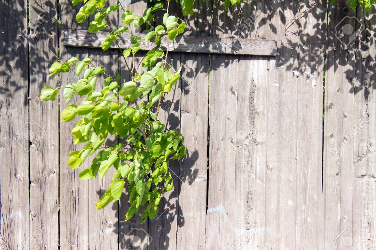 Alte Holzzaun Graue Farbe Durch Ein Loch Im Zaun Gekeimt Einen