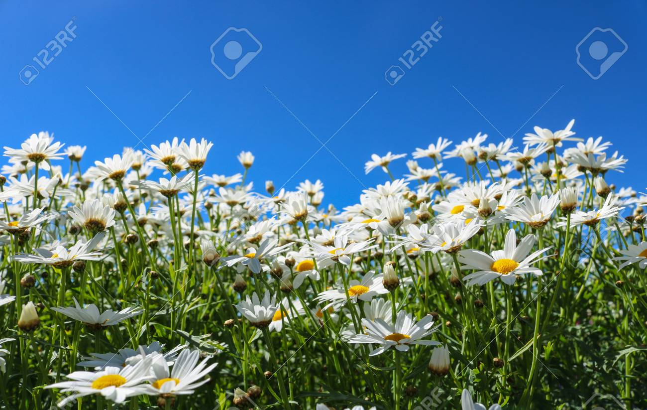 The Daisy Flower Symbolizes Innocence A Loyal Love And Gentleness