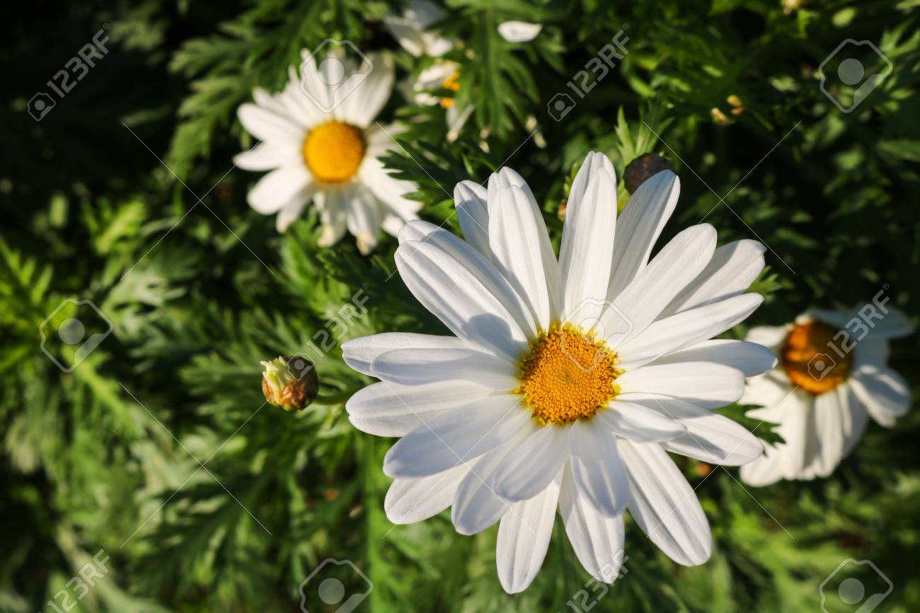 The daisy flower symbolizes innocence a loyal love and gentleness stock photo the daisy flower symbolizes innocence a loyal love and gentleness daisy flower is a powerful healing herb that works great and it s been izmirmasajfo Gallery