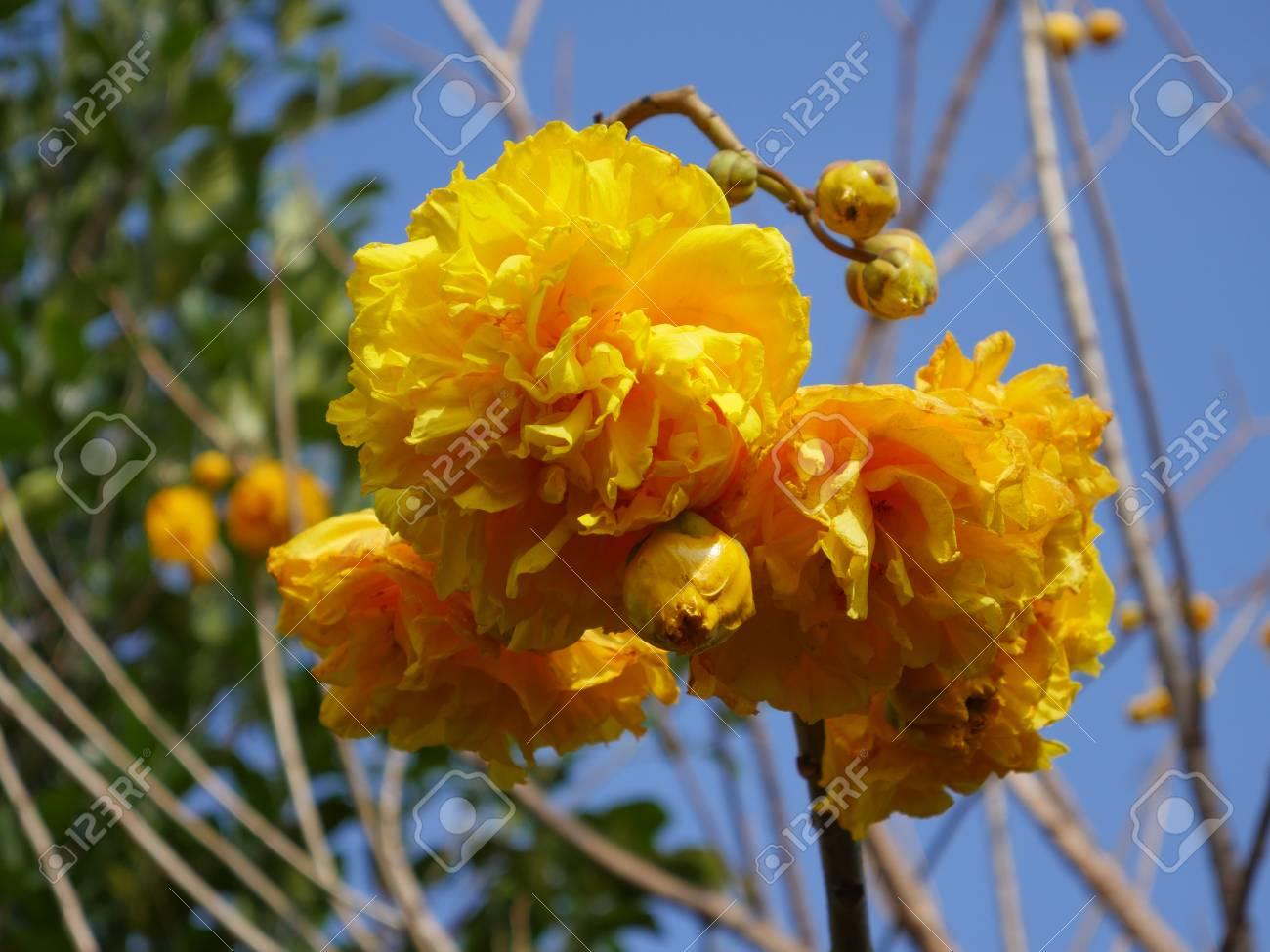 Cochlospermum regium golden yellow flowers beautiful in a clear cochlospermum regium golden yellow flowers beautiful in a clear day stock photo 58147244 mightylinksfo