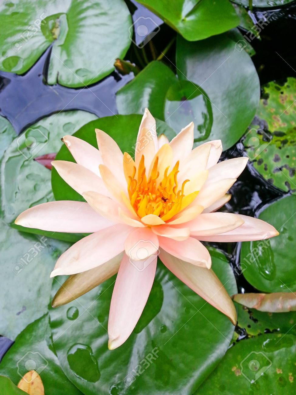 Lotus Flower With Orange Color Stock Photo Picture And Royalty Free