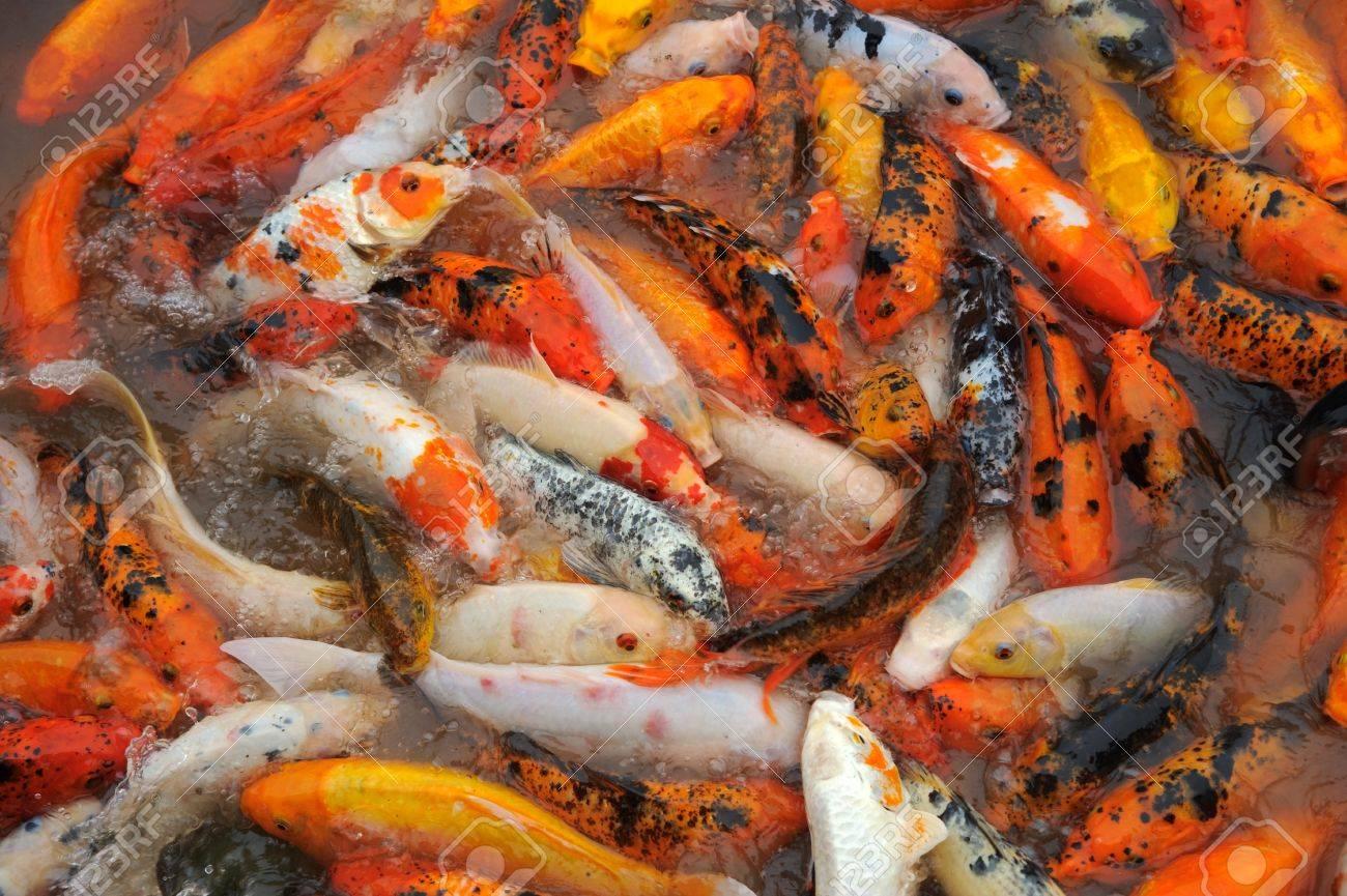lago lleno de peces carpa koi foto de archivo