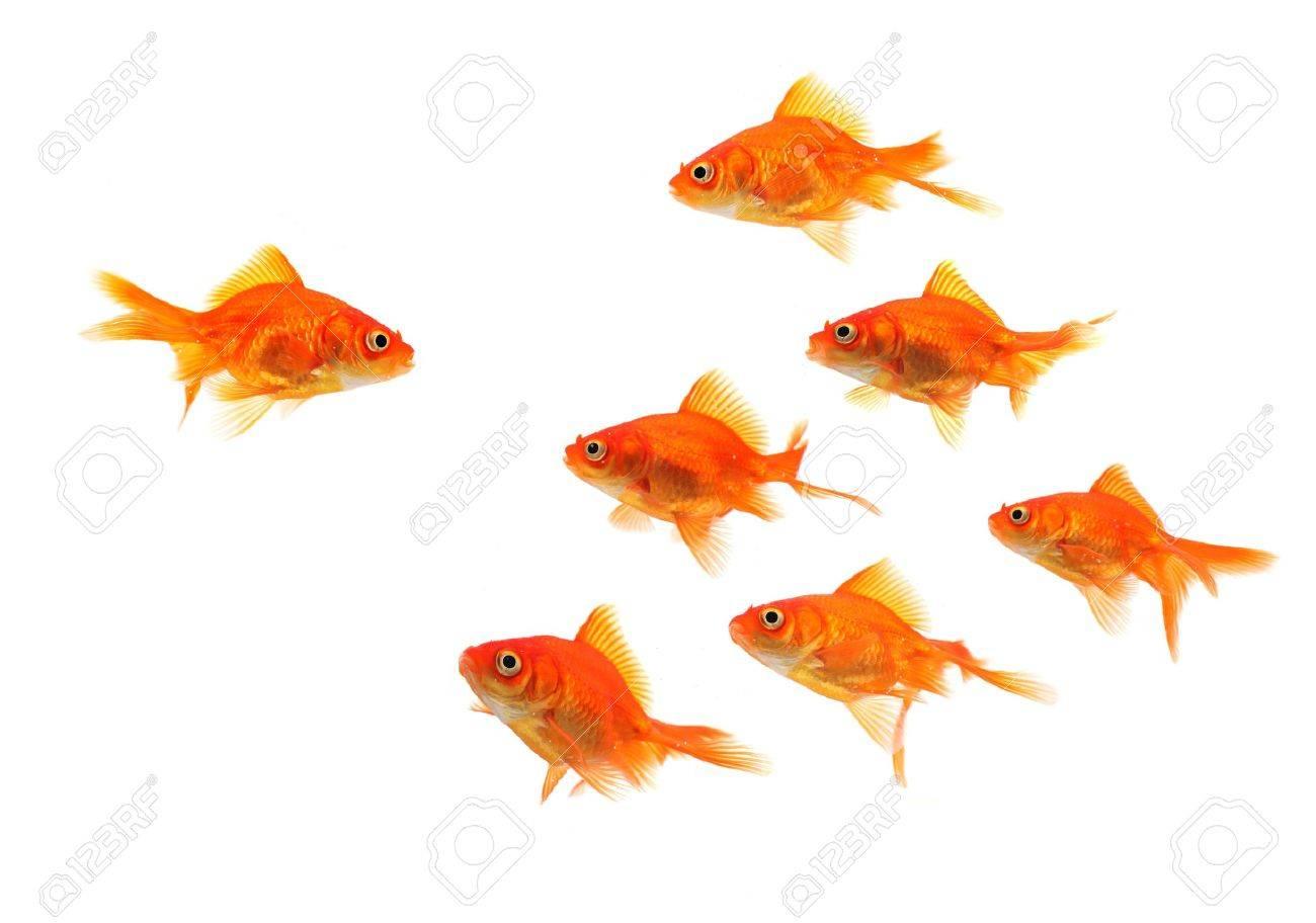 goldfish group leader isolated on white background Stock Photo - 4669250