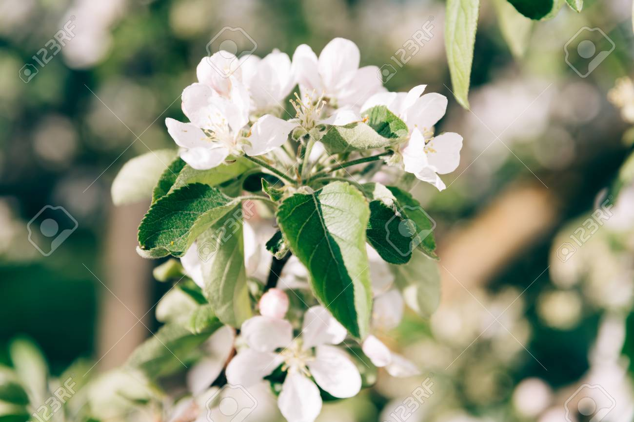 Close Up Of Bunch Of Whitering White Flowers In Garden Stock Photo