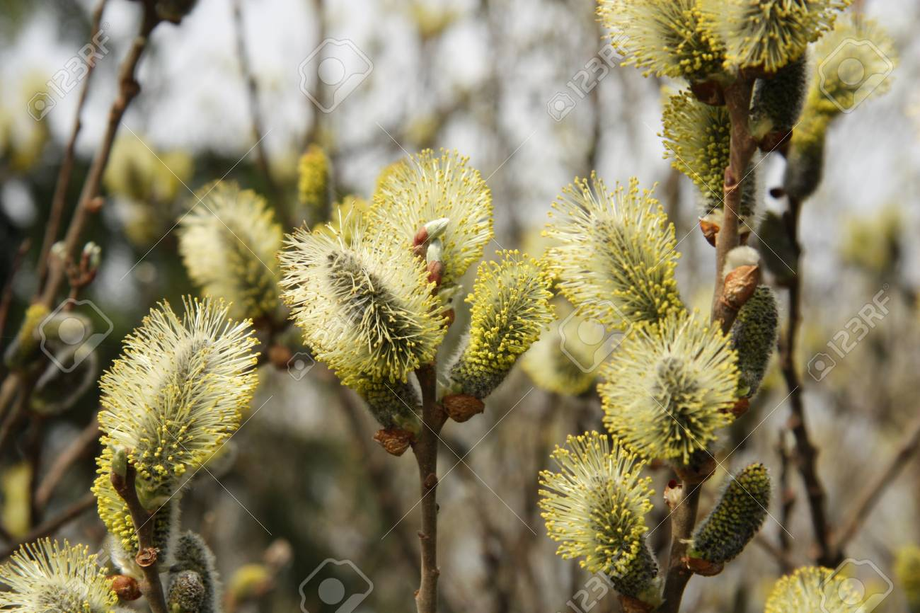 Pussy-willow Stock Photo - 9484601