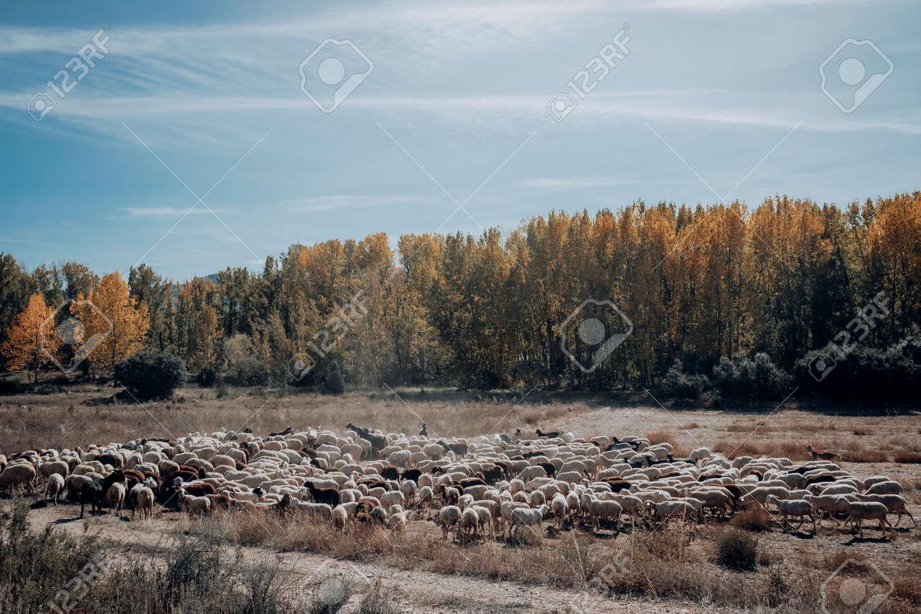Sheep to graze in the meadow in Maestrazgo. Teruel province. Spain - 170515461