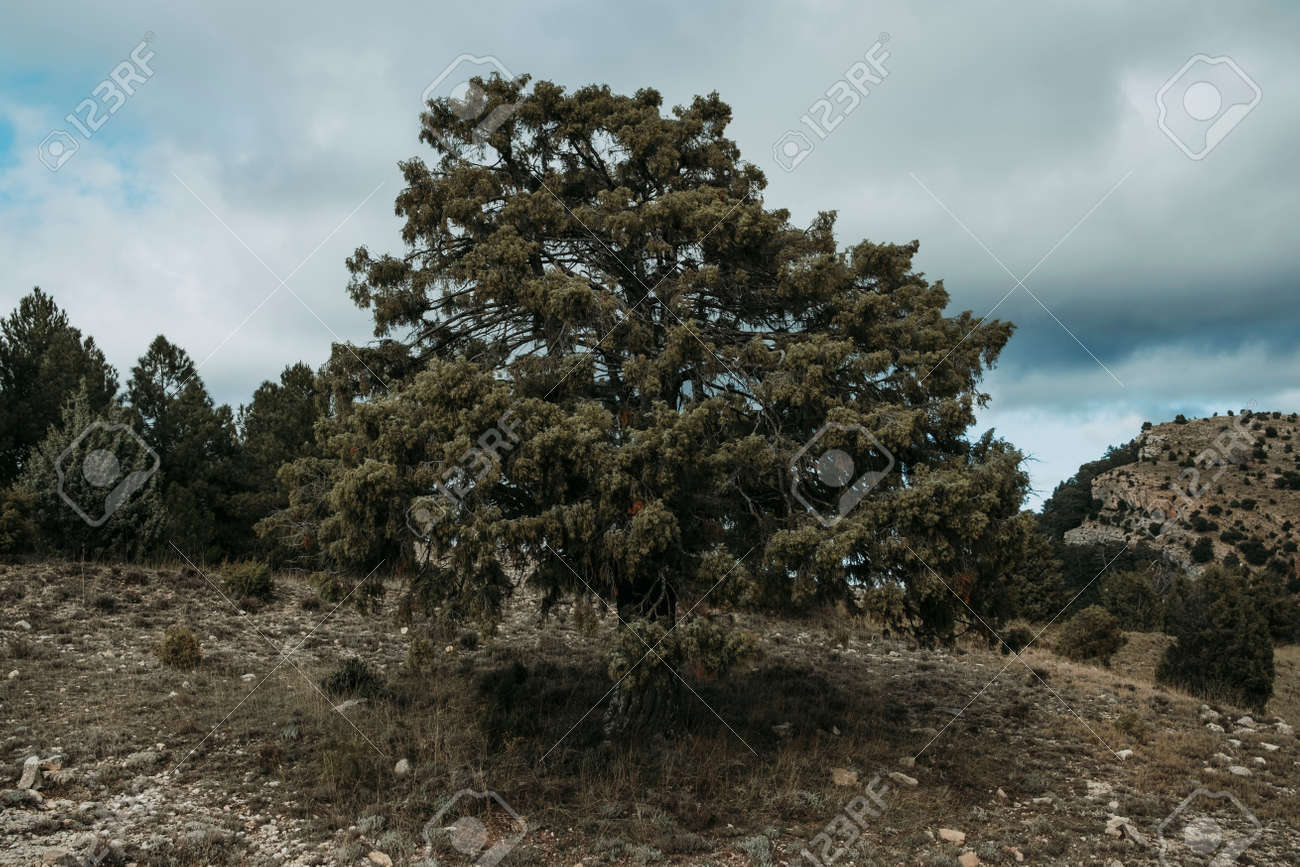 Giant juniper. Mountain routes in Los Ports mountains. Teruel province - 170463116