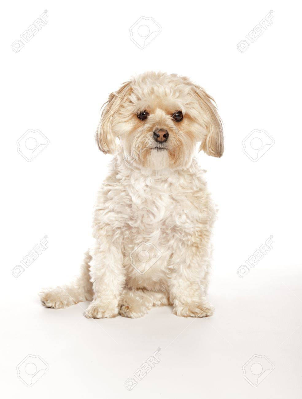 Maltese Yorkie Morkie Mixed Breed Puppy Stock Photo Picture And