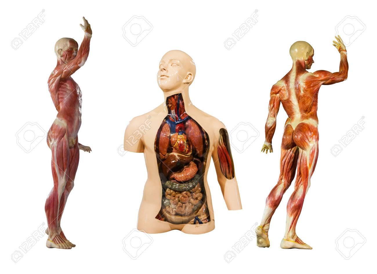 Menschliche Anatomie Schaufensterpuppe Auf Weißem Hintergrund Zu ...