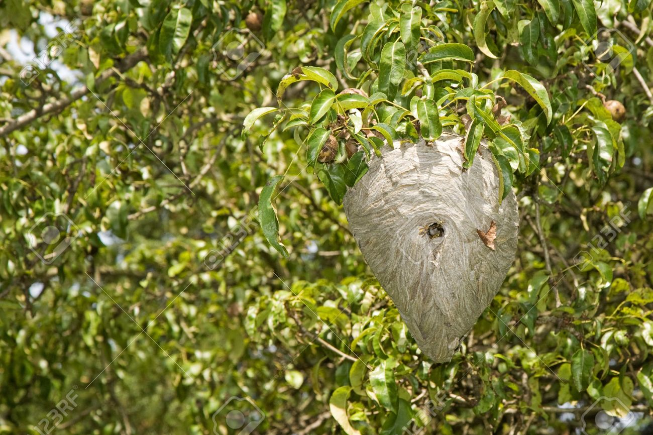 Yellowjacket Nest Hanging In A Pear Tree Stock Photo, Picture And ...
