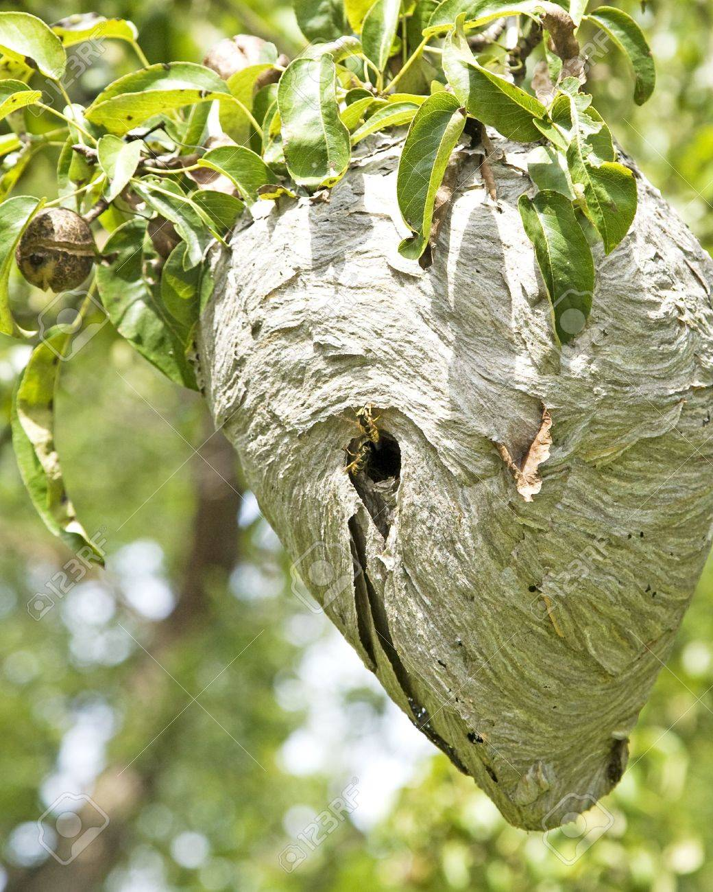 Active Yellowjacket Nest In A Pear Tree. Stock Photo, Picture And ...