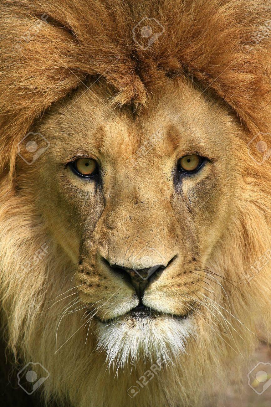 lion - 3334320