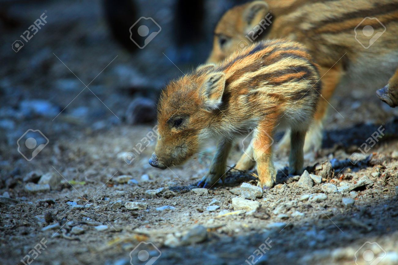 a photo of baby wild pigs in springtime - 4754928