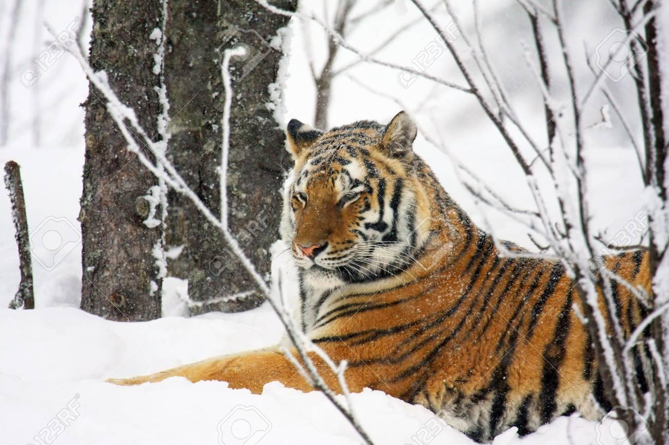 tiger - 5616865